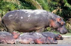 Babysitting hippos | Christine et MichelDenis Huotphotographes animaliers - - Hippopotame - 13616