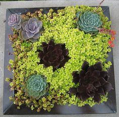 great idea for a wall hanging: succulents and ground cover in a plant frame - http://www.urbilis.com/vertical-wall-garden-square-frame/