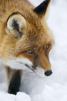 Fox in the snow | Portrait of a vixen in the snow