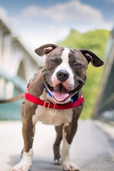 American Pit Bull Terrier Puppy Dogs Pitbull