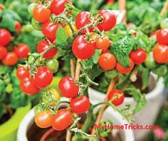 Container tomato gardening: we grow tomatoes in containers mostly for convenience, control, and flexibility. Secrets to Growing Tomatoes in Containers Ideas. Container Vegetables, Planting Vegetables, Growing Vegetables, Container Gardening, Gardening Tips, Growing Tomatoes In Containers, Grow Tomatoes, Dried Tomatoes, Cherry Tomatoes