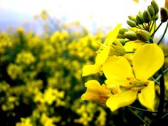 HD Yellow Flower k Pictures 1600×1200 Yellow Flower Wallpapers (46 Wallpapers)   Adorable Wallpapers