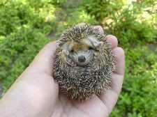 A real baby hedgehog