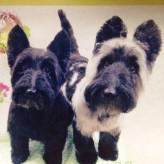 Instagram media by mochuxx - #scottishterrier #scottie #dog #scottiedog #scottielove #scottiedog #scottieofinstagram #スコッチテリア #スコティッシュテリア #テリア #犬 #わんこ #愛犬