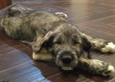 The too pooped to party puppy pose. Cute Puppies, Cute Dogs, Dogs And Puppies, Doggies, Beautiful Dogs, Animals Beautiful, Cute Animals, Irish Wolfhound Puppies, Irish Wolfhounds