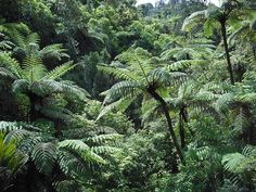 Ponga tree ferns in the bush - Waitakere Ranges, Auckland
