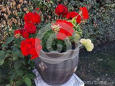 Photo about Geranium flower pot in the garden. Image of blossom, beauty, leaf - 150840941