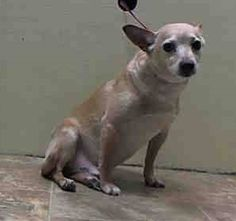 SAFE 3/15/15 --- Brooklyn Center  LEON - A1030056   MALE, CREAM / WHITE, CHIHUAHUA SH MIX, 5 yrs STRAY - STRAY WAIT, NO HOLD Reason STRAY  Intake condition UNH&UNTREA Intake Date 03/11/2015, https://www.facebook.com/Urgentdeathrowdogs/photos/pb.152876678058553.-2207520000.1426449004./976180292394850/?type=3&theater