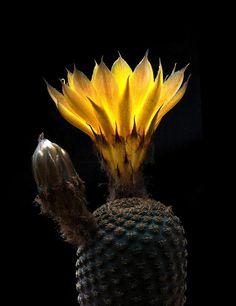 Echinopsis famatimensis (Spegazzini) Werdermann 1931 = Lobivia famatimensis (Spegazzini) Britton