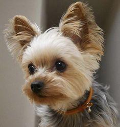 Yorkshire Terrier, Energetic and Affectionate. Yorkie Poodle, Biewer Yorkie, Yorkie Puppy, Yorkies, Toy Poodles, Perros Yorkshire Terrier, Yorkshire Terrier Haircut, Yorky Terrier, Bull Terriers