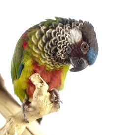 Pretty Birds, Beautiful Birds, Animals Beautiful, Cute Animals, Cockatiel, Budgies, Different Birds, Parrot Toys, Conure