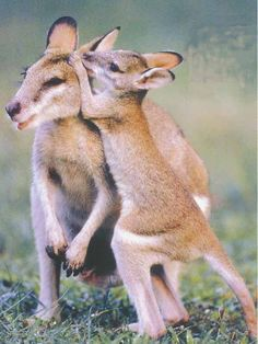 Wallaby with joey