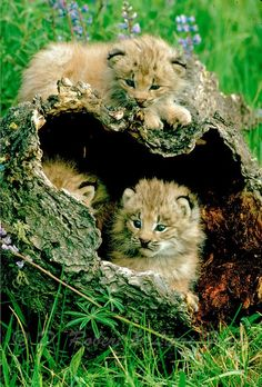 Will be big cats soon Beautiful Cats, Animals Beautiful, Cute Baby Animals, Animals And Pets, Wild Animals, Tier Fotos, Cats And Kittens, Big Cats, Crazy Cats