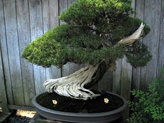 A stunning bonsai in the Japanese garden