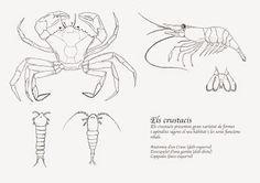 Varietat de formes dels crustacis - Ernest Cornell...