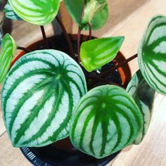 The shop is BURSTING with new plants! (No seriously, we had a rack pop right off the wall it was so full!) Watermelon peperomia, gorgeous…