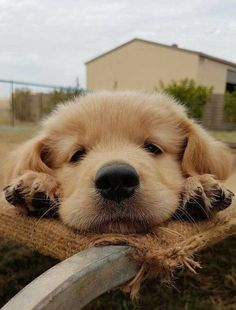 Some of the things we all enjoy about the Friendly Golden Retriever Puppy Retriever Puppy, Dogs Golden Retriever, Baby Golden Retrievers, Labrador Retrievers, Cute Little Animals, Cute Funny Animals, Funny Dogs, Funny Puppies, Cute Dogs And Puppies