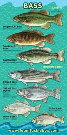 Not sure what type of Bass you have on the line? #fishing #outdoors by felecia