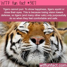 How tigers show happiness -WTF fun facts: Tigers Can T, Random Fact, Big Cats, Facts About Animals, Tiger Fact, Wtf Fun Facts, Animal Facts, Interesting Facts, Cat Facts