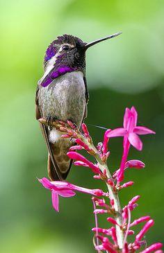 Costas Hummingbird, Wings of the Tropics, Fairchild Tropical Botanic Garden