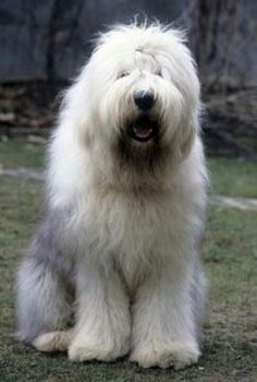 Old English Sheepdog dog Big Dogs, I Love Dogs, Cute Dogs, Dogs And Puppies, Doggies, Beautiful Dogs, Animals Beautiful, Old English Sheepdog, Mundo Animal