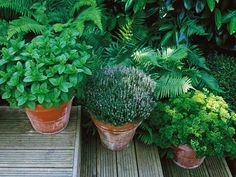 Terracotta pots are good containers for sage, mint, thyme and parsley or most any herb that likes water and partial shade... keep plants compact and bushy by pinching the tips...