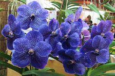 Orquídeas Vanda : Las orquídeas son plantas monocotiledóneas pertenecientes a la familia de las Orchideaceae. Su flor es muy bonita y muchas veces el pétalo