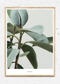 Ficus Elastica fra Beautiful World