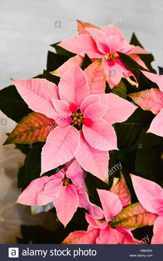 Download this stock image: Euphorbia pulcherrima (poinsettia) Princettia Soft Pink. - H8M32X from Alamy's library of millions of high resolution stock photos, illustrations and vectors.