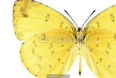"""Butterfly Eurema hecabe (male) (underside)"" Immagini e Fotografie Royalty Free su Fotolia.com - File 81941470"