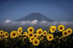 Sunflower, cloud and the mountain :color Photo by Takashi   — National Geographic Your Shot