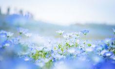 nemophilas-field-hitachi-seaside-park-10