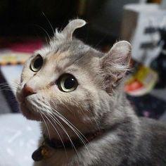 #americancurl #アメリカンカール  #写真好きな人と繋がりたい  #sonyα6000  #α6000  #cat  #ネコ #猫 #ねこ #愛猫
