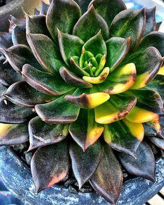 Echeveria Black Prince variagata #echeveria #cactus