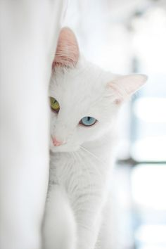 White cat with one green eye & one blue... the eyes look like colored glass... so beautiful.