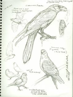 Animal Drawings Bird studies by Terryl Whitlatch. Life Drawing, Drawing Sketches, Painting & Drawing, Sketching, Bird Drawings, Animal Drawings, Drawing Animals, Easy Drawings, Terryl Whitlatch