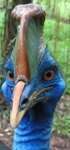 The best faces. The best, most bizarrely terrifying faces. (Cassowaries (ratites) are large flightless birds native to the tropical forests of New Guinea, nearby islands and NE Australia. They grow to 6' tall; up to 140 lbs w stout, powerful legs & long feet w 3 toes. )