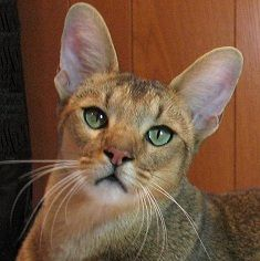 Chausie - fairly new breed of domestic cat, bred from wild Jungle Cats since the 1990's.