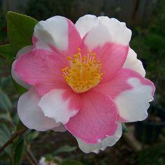 "~Camellia x vernalis ""Shibori-egao"""