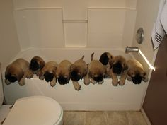 All 9 puppies at  7 weeks old....  Bath time :)