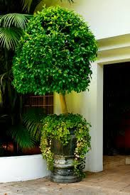Image result for syzygium topiary