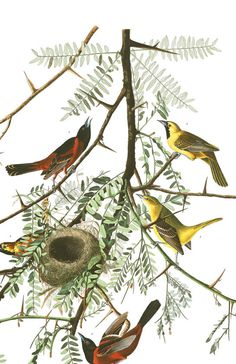Orchard Oriole | John James Audubon's Birds of America