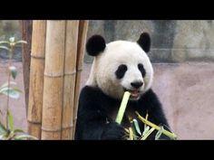FOOTBALL -  FedEx Panda Express : de Chengdu à Toronto - http://lefootball.fr/fedex-panda-express-de-chengdu-a-toronto/