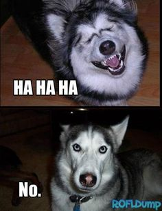 Ha ha ha ha, No! #meme #funny #dog #lol