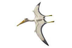 This pterosaur species lived 160-150 million years ago in an archipelago in what is now southern Germany. It had a wingspan of up to 5' and fed on insects or fish. In addition to wings, Pterodactylus antiquus had a flap of skin between its legs and tail and webbing between its toes. It was the first flying reptile to be called a 'pterodactyl.' After many other specimens were found, the entire group was named Pterosauria, and its members pterosaurs - the terms scientists use today.