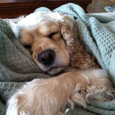 Shhhhhh sleepy cocker spaniel