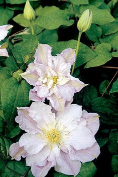 Clematis 'Veronica's Choice'. A classic hybrid from renowned English breeder Walter Pennell and named after his daughter. Produces large double flowers early and smaller single blooms later. Each a pretty pale mauve-lavender with hints of rose-pink. Broad overlapping tepals with wavy edges creating an overall frilly appearance. Delicate primrose fragrance. Excellent cut flower.    Size: 8' tall.. Bloom time: Early summer to mid to late summer. Plant zones: 4-9.  PRUNE GROUP 2