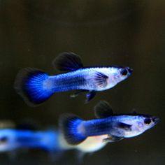 Blue Panda Guppy Males