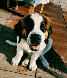 Small puppy?? No. Puppy of Saint Bernard Dog.  #named Hermiona