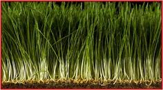 How to grow wheat grass-for juicing or in small decorative pots for looks.  Tastes good and is really good for you.